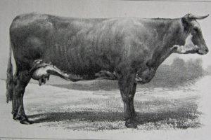 Cotentine---vache---CR-Rouen-1855
