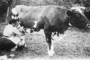 Normande_cow