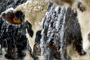 snow photo-race-vache-normande-neige-v